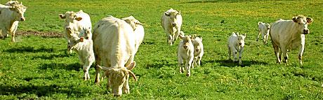 Köttdjur från Ekologiska Kompaniet